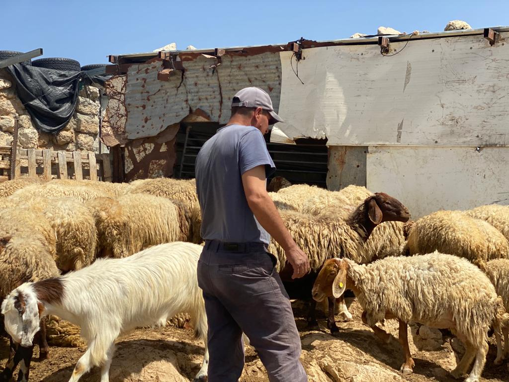 Bassem returns his herd to their home in Zanuta village after grazing was cut short after being attacked by Israeli settlers at a new outpost near Zanuta, West Bank, April 24, 2021. (Natasha Westheimer)