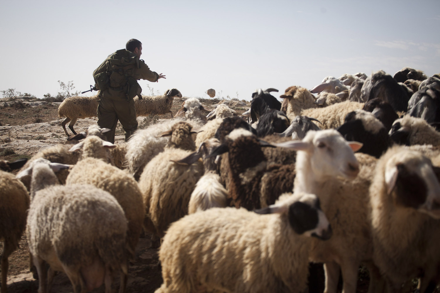 An Israeli solider throws stones at sheep to disperse them in Umm al Arayes, South Hebron Hills, West Bank, January 26, 2013. (Oren Ziv/Activestills.org)